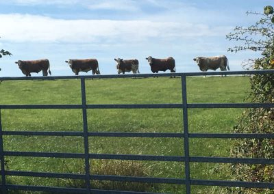 Cows on the Cleveland Way